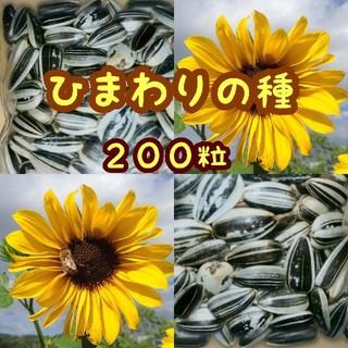 大きくそだつひまわりの種子 約200粒(野菜)
