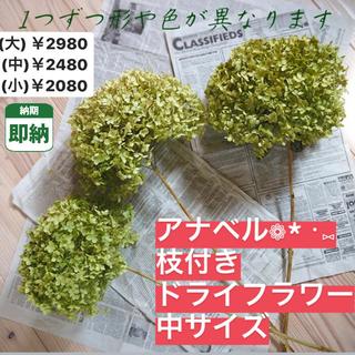 中サイズ【即納】アナベル ドライフラワー 紫陽花 あじさい インテリア 花 枝付(ドライフラワー)