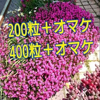 シレネ種 120~(その他)