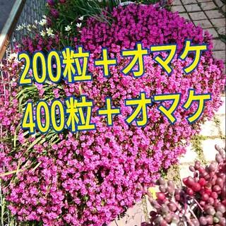 シレネ種 120個~(その他)