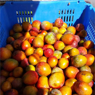 沖縄県産 ミニマンゴー 1キロ(フルーツ)
