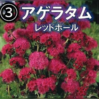 【アゲラタム③】レッド Red Sea 種子10粒(その他)