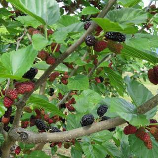 マルベリー 桑の木 挿木 カット苗 5本(フルーツ)