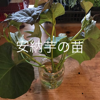 安納芋 の 苗 3本(野菜)