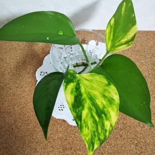 ポトス パーフェクトグリーン&ゴールデン  カット苗  観葉植物(その他)