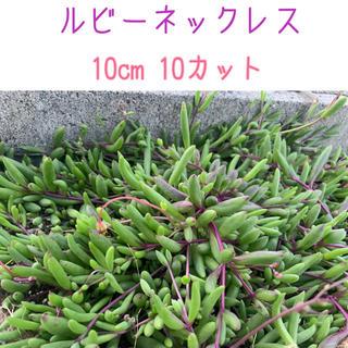 多肉植物 ルビーネックレス(その他)