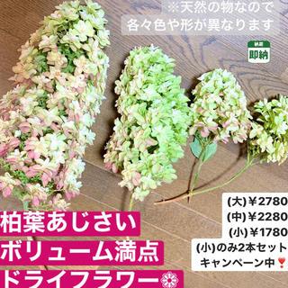 大きいサイズ【即納】柏葉あじさい ドライフラワー 紫陽花 カシワバアジサイ 人気(ドライフラワー)