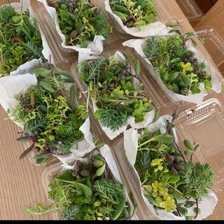 多肉植物 カット苗 セダム  寄せ植え 1パック 希望あれば育て方送ります(その他)