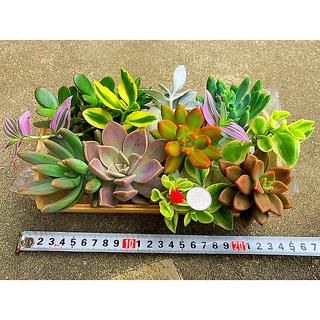 多肉植物カラフル寄せ植え 大苗、カット苗、抜き苗、11種類、おまけ付き(その他)