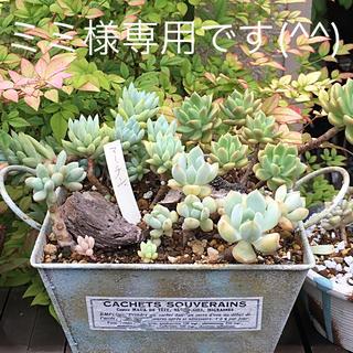 多肉植物リメイク缶鉢寄せ植えにどうぞ(*´꒳`*)ミミ様専用です(^^)(その他)