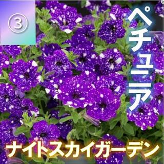 【ペチュニア③】ナイトスカイガーデン 種子30粒!(その他)