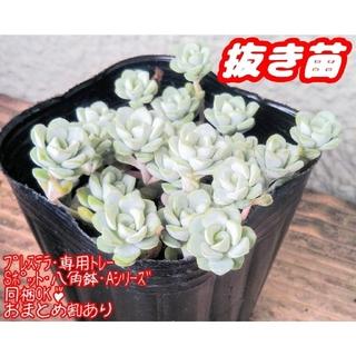 【抜き苗】ケープブランコ (白雪ミセバヤ) 多肉植物 セダム(その他)
