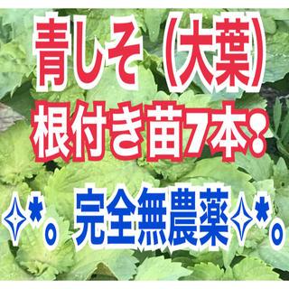 ✧︎*。完全無農薬✧︎*。青しそ(大葉)根付き苗7本❢常時オマケ付❣︎(野菜)