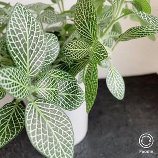 白い網目が美しい【送料無料】フィットニア シロアミメグサ *観賞植物(その他)