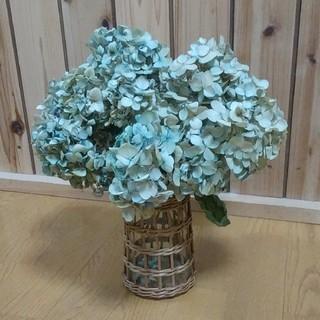 アジサイ ドライフラワー 薄青緑~水青~黄緑~ライトベージュ 茎有8(ドライフラワー)