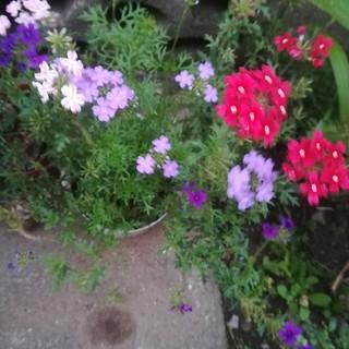 バーベナ 3色×2本 合計六本 抜き苗(その他)
