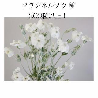 フランネルソウ(スイセンノウ) 種子 200以上 春秋まき ドライフラワーにも!(その他)