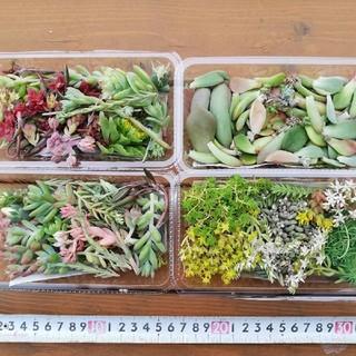 多肉植物 花芽・葉挿し・セダム ミックス 梱包込み 250g以上 1633円(その他)