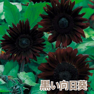 【黒い向日葵】 ブラックビューティー 種子5個(ドライフラワー)