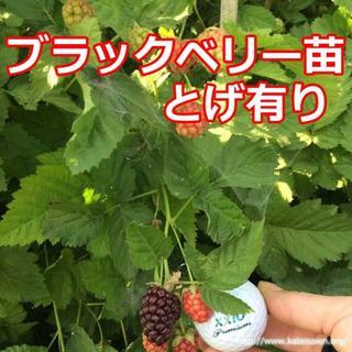 ■ブラックベリー果樹苗トゲなしボイセンベリー健康フルーツ無農薬栽培♪(フルーツ)