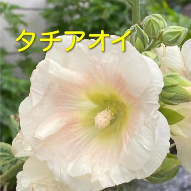 タチアオイ 種  オマケつき ハンドメイドのフラワー/ガーデン(その他)の商品写真