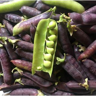14時まで!紫エンドウ1キロ ツタンカーメン(野菜)