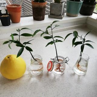 ウニコ(unico)の苔玉、インテリアに!台湾 縁起の良い植物を(その他)
