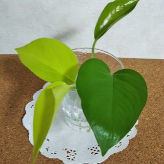 ポトス パーフェクトグリーン&ライム  カット苗  観葉植物(その他)