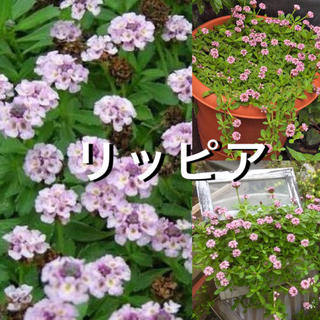ヒメイワダレソウ  リッピア【抜き苗】◆宿根草◆50g(その他)