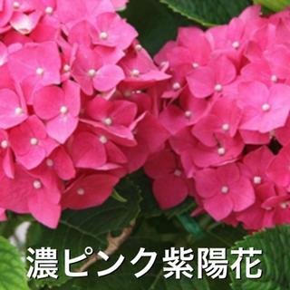 濃ピンク紫陽花【挿し木用4本】◆リッピア【抜き苗】◆宿根草◆50g(その他)
