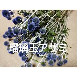 hanasakuさま専用  瑠璃玉アザミ   20玉  セミドライ(ドライフラワー)