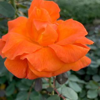 薔薇オレンジ仮専用です