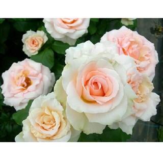 即購入❌[予約]珍しい四季咲き大輪バラ  ヨハンシュトラウス根付き苗1株(その他)