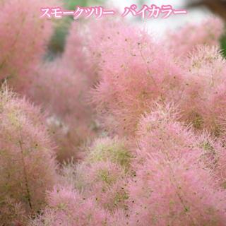 スモークツリー 苗 希少品種 バイカラー 苗木(その他)