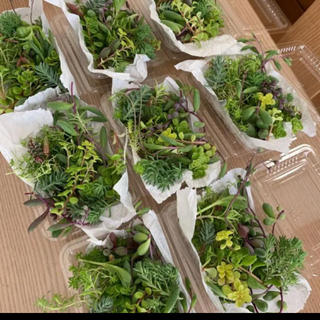 多肉植物 寄せ植え カット苗 1パック 希望あれば育て方送ります セダム(その他)
