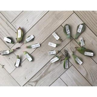 多肉植物 葉挿し発芽または発根17種セット①