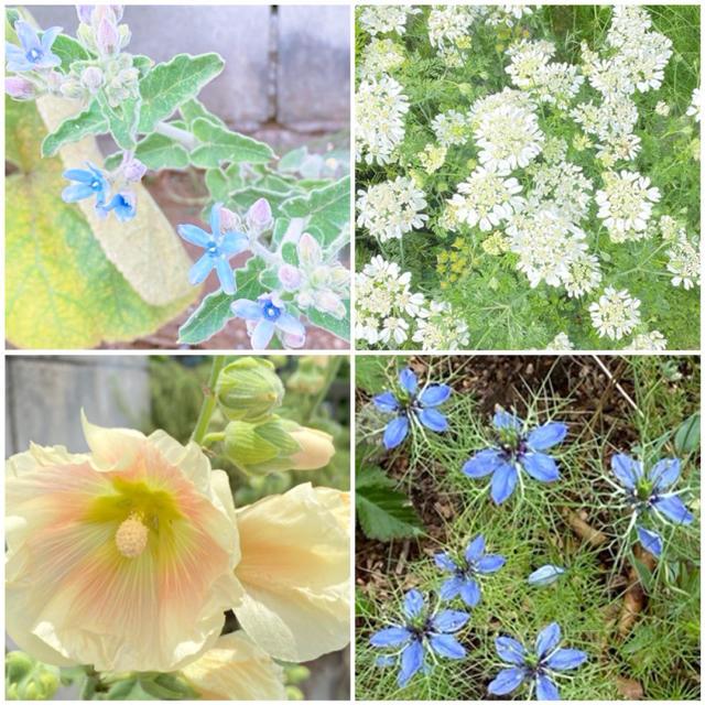 アグロステンマ 桜貝 種  オマケ種つき ハンドメイドのフラワー/ガーデン(その他)の商品写真