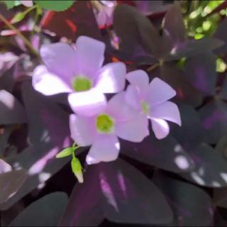 ♡ オキザリス紫の舞球根30球♡(その他)