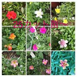 ポーチュラカ  八重咲き 絞り咲き 25カット苗 (その他)