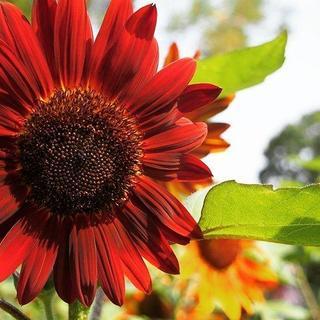 今が蒔き時 おしゃれで人目を惹きます! 珍しくて綺麗な赤い向日葵の種5粒(その他)