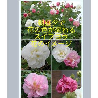 朝昼夕で花の色が変わる❤️珍しい花 スイフヨウ 苗木(その他)