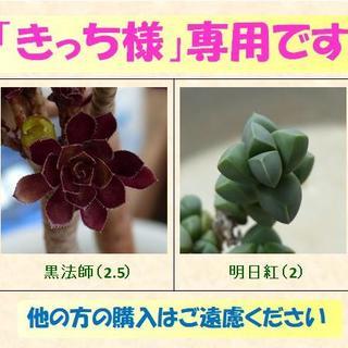 多肉植物 【0339】  まとめ買い「黒法師・明日紅」&「多肉15種」セット(その他)