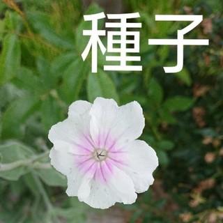 スイセンノウ(白花)の種子(その他)