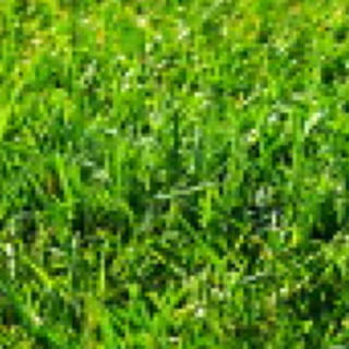芝生の種 クリーピングレッドフェスクカーディナル(その他)