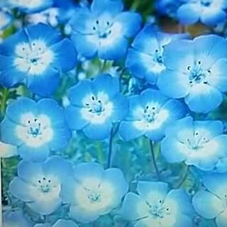 花の種 ネモフィラ インシングニスブルー300粒以上 オマケ付(その他)