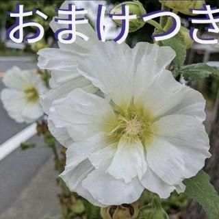 タチアオイ種 しろ(その他)