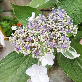 斑入り紫陽花 挿し木用3本(その他)