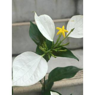 【最終値下げ】コンロンカ 崑崙花 ポットごと発送③(その他)