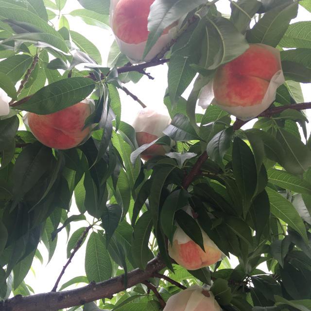 山梨県産ハネダシ桃 大玉6個 食品/飲料/酒の食品(フルーツ)の商品写真