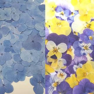 紫陽花とビオラの押し花20枚ずつ合計40枚(ドライフラワー)